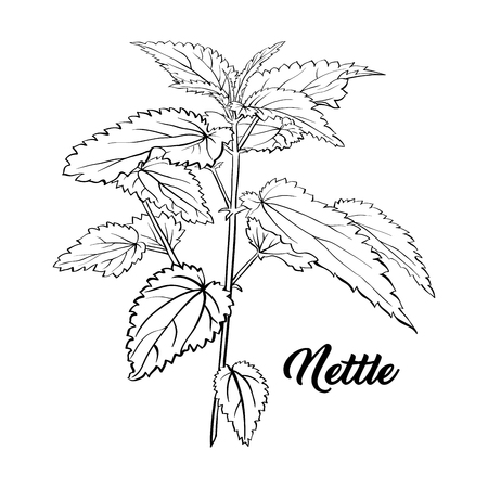 Nettle Branch Monochrome Engraving. Tea Herb Sketch. Isolated Hand Drawn Contour Sketch Drawing Illustration of Stinning Botany Plant. Herbal Medicine and Aromatherapy Design on the White Background