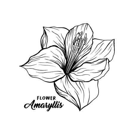 Amaryllis hand drawn vector illustration. Hippeastrum ink pen sketch. Flower outline freehand drawing. Blooming, blossom. Floral clipart set. Greeting card isolated monochrome design element