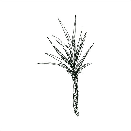Isolated sketched coconut or queen palm tree with leaves. Beach and rainforest, desert coco flora. Foliage of subtropical fern. Green palmae or jungle arecaceae. Botany, environment theme