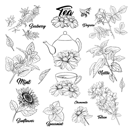 Tea Herbs Botany Plants Outline Set. Sketch Isolated Hand Drawn Engraved Illustration of Stinning Daisy or Chamomile Flower. Dogrose, Mint, Tutsan Herb. Herbal Medicine Nettle. Seaberry and Sunflower