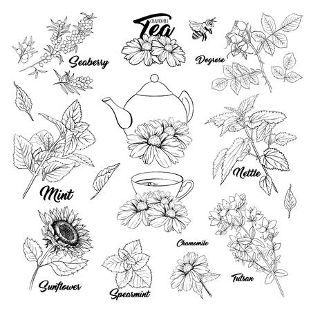 Tee Kräuter Botanik Pflanzen Gliederung Set. Skizzieren Sie isolierte handgezeichnete gravierte Illustration von Stinning Daisy oder Kamille-Blume. Heckenrose, Minze, Tutsan-Kraut. Kräutermedizin Brennnessel. Seebeere und Sonnenblume
