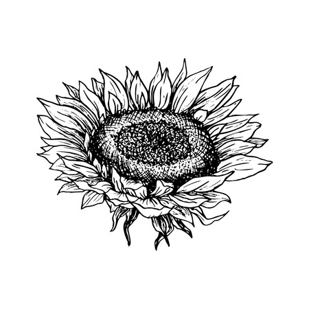 Sunflower hand drawn vector illustration. Floral ink pen sketch. Black and white clipart. Realistic wildflower freehand drawing. Isolated monochrome floral design element. Sketched outline
