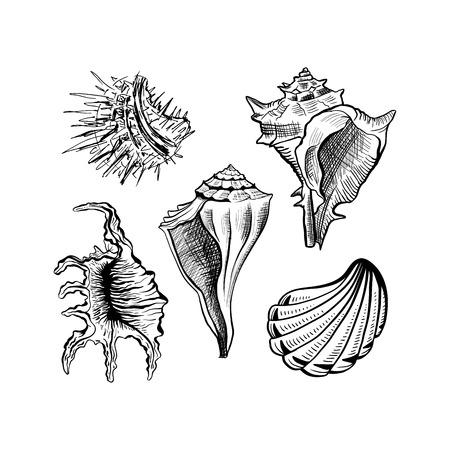Angular Murex Muschel handgezeichnete Vektor-Set. Meeresmuschel, monochrome Skizze der Molluske. Freihand-Umriss-Muschelgravur. Conchology isolierte Gestaltungselemente. Realistische Tintenstiftzeichnung