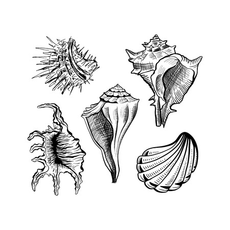 Angular murex seashell hand drawn vector set. Seashore conch, mollusk monochrome sketch. Freehand outline clam shell engraving. Conchology isolated design elements. Realistic ink pen drawing