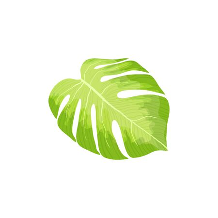 Green Monstera palm leaf vector isolated on white background. illustration of hawaiian and tropical single object for design Ilustração