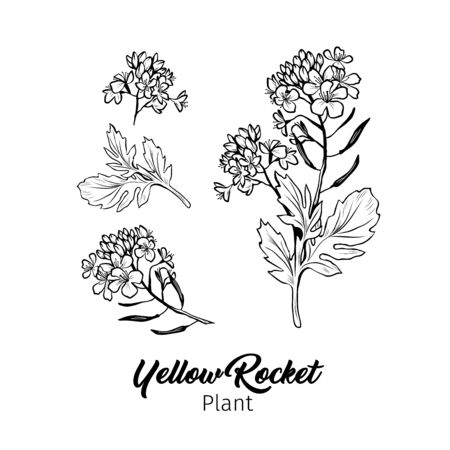 Barbarea vulgaris blossom freehand vector sketches set. Blooming summer honey plant black and white engraving. Bittercress, Yellow Rocket flowers monochrome drawing with title. Poster design element