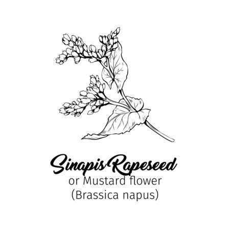 Mustard flower blossom vector illustration. Summer honey plant, canola leaves and petals freehand sketch. Blooming Sinapis rapeseed botanical engraving with inscription. Poster, banner design element