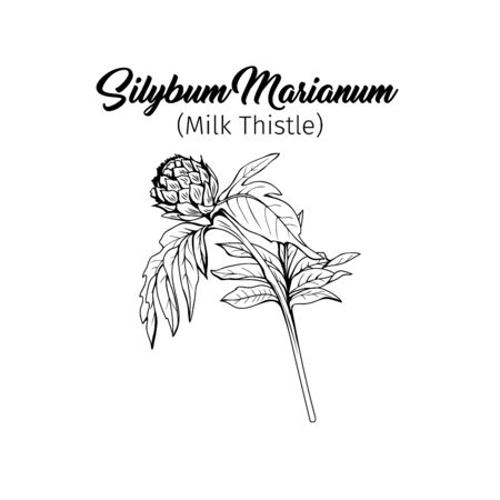 Silybum marianum black and white vector illustration. Homeopathic ingredient, honey plant bud. Botanical monochrome drawing. Thorny young wildflower, weed engraved sketch. Poster design element Çizim