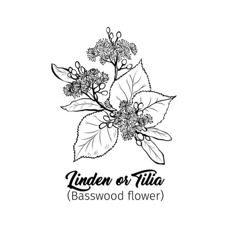 Linden flowers freehand vector illustration. Tilia, basswood, honey plant black and white sketch. Aromatic calming tea ingredient, herbal remedy. Botanical engraved tree branch. Poster design element Çizim