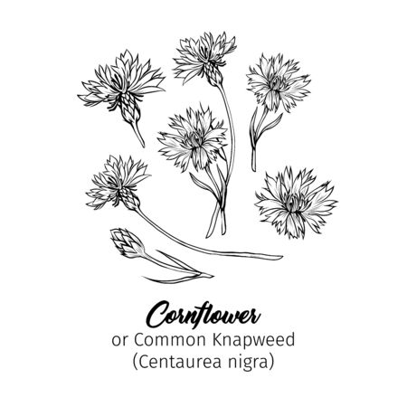 Cornflower black ink vector sketches set. Summer honey plant with name engraved sketch. Common knapweed flower, buds outline. Centaurea-nigra botanical black and white drawing with latin inscription
