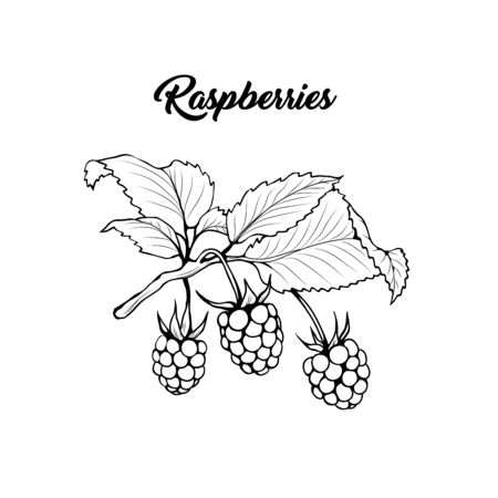 Raspberry branch black and white vector illustration. Aromatic berries on twig engraved drawing. Juicy summer vitamin dessert. Rubus idaeus monochrome botanical sketch. Postcard, poster design element Çizim