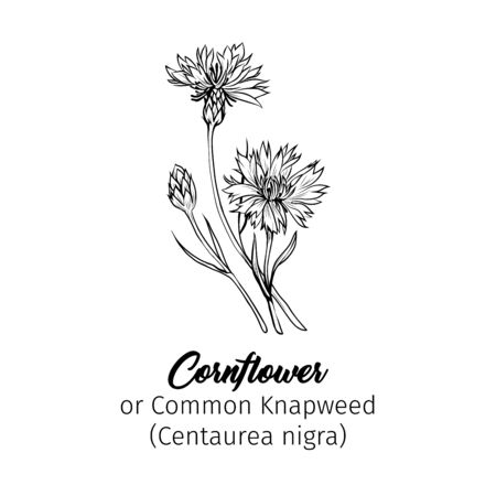 Cornflower black ink vector illustration. Summer meadow flower, honey plant with name engraved sketch. Common knapweed outline. Centaurea nigra botanical black and white drawing with inscription Illustration