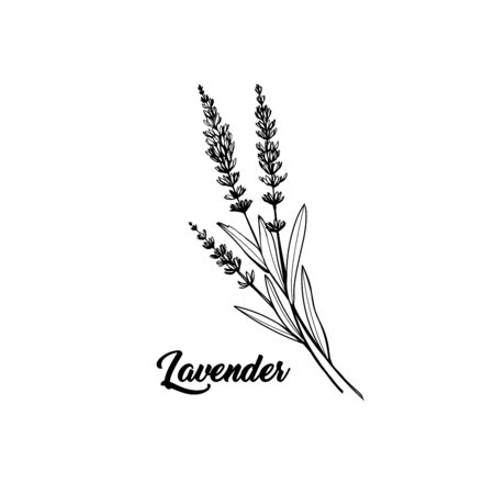 Lavender black and white vector sketch. Fragrant French wildflower with title. Violet summer honey plant sketched outline. Blooming aromatic Provence wild flower engraving. Aromatherapy scent Illustration