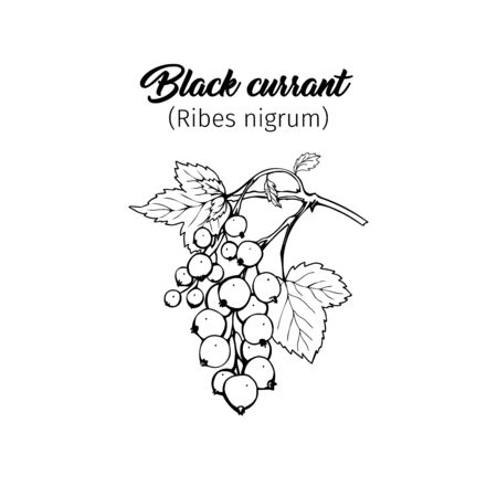 Black currant hand drawn vector illustration. Garden berry black and white sketch with inscription. Aromatic ripe summer dessert. Juicy Ribes nigrum freehand engraved branch. Poster design element