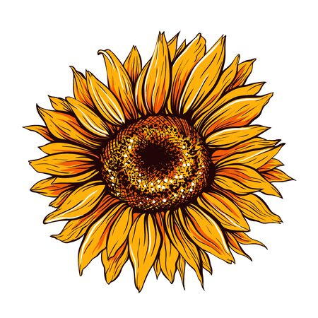 Sunflower hand drawn vector illustration. Beautiful orange flower bud, blooming wildflower. Agriculture, summer nature cartoon symbol. Farm plant, helianthus blossom realistic freehand drawing