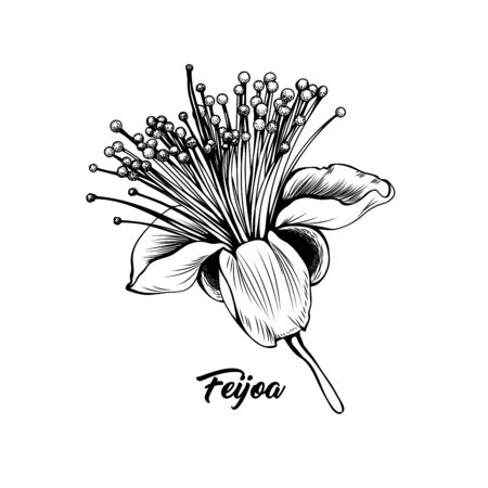 Feijoa flower hand drawn vector illustration. Beautiful blossom, elegant blooming bud black and white freehand drawing. Botany, floristry banner decorative design element with calligraphy