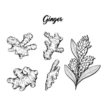 Ginger and flower blossoming plant spice set. Botanical vector illustration for posters or banner design Zdjęcie Seryjne - 129202942