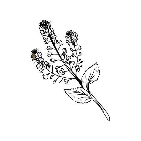 Buckwheat blossom black and white illustration. Blooming cereal, honey plant freehand sketch with calligraphy inscription. Field flower with tiny outlined petals, stem, leaves. Poster design element