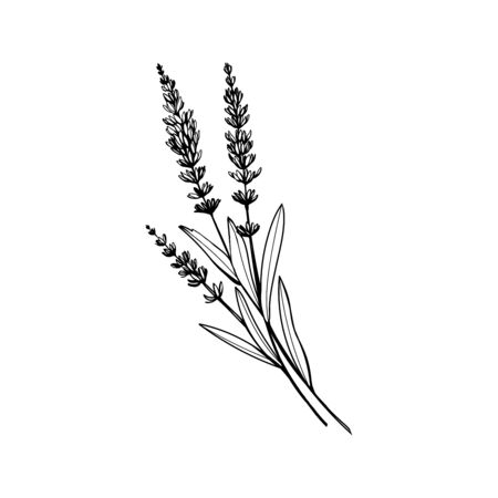Lavender black and white vector sketch. Fragrant French wildflower with title. Violet summer honey plant sketched outline. Blooming aromatic Provence wild flower engraving. Aromatherapy scent Çizim