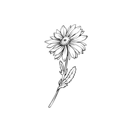Daisy flower with bud freehand vector illustration. German chamomile, Matricaria chamomilla monochrome outline. Honey plant, wild flower engraving. Homeopathic herb, wildflower with name drawing Çizim