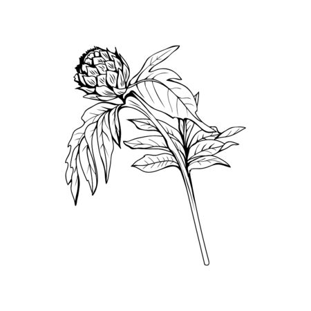 Silybum marianum black and white vector illustration. Homeopathic ingredient, honey plant bud. Botanical monochrome drawing. Thorny young wildflower, weed engraved sketch. Poster design element 일러스트