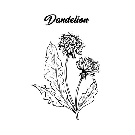 Flowering dandelion freehand vector illustration. Spring honey plant, wildflower outline. Fragile summer flower, Taraxacum leaves and petals monochrome engraving. Postcard, poster design element