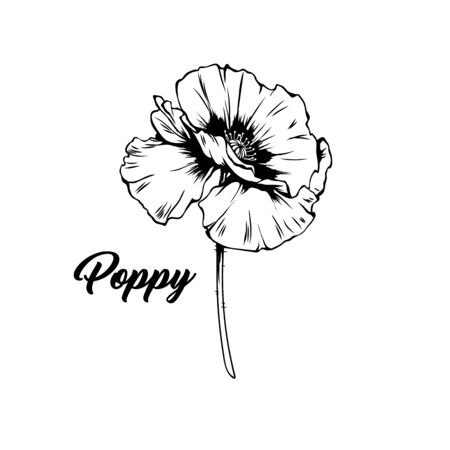 Poppy flower hand drawn vector illustration. Summer blooming honey plant black and white sketch. Monochrome floral engraving with calligraphy. Remembrance day symbol. Postcard, poster design element
