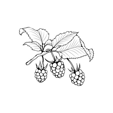 Raspberry branch black and white vector illustration. Aromatic berries on twig engraved drawing. Juicy summer vitamin dessert. Rubus idaeus monochrome botanical sketch. Postcard, poster design element Ilustração