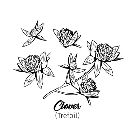 Clover blossom black ink sketches set. Wildflower twig, flowers and buds black and white illustrations collection. Honey plant monochrome botanical engraving with title. Floral postcard design element Ilustração