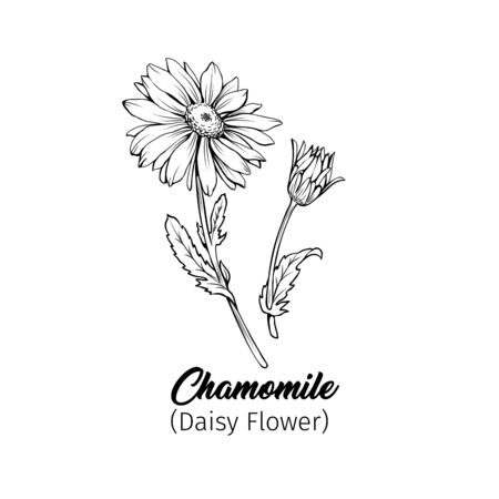 Daisy flower blossom freehand vector illustration. German chamomile, Matricaria chamomilla petals monochrome outline with title. Honey plant, wild flower engraving. Homeopathic herb, wildflower