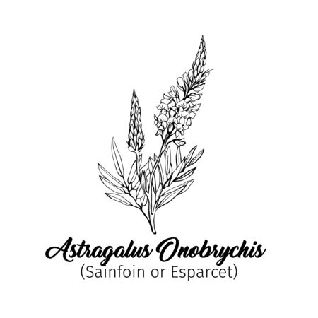 Esparcet blossom hand drawn vector illustration. Summer honey plant black and white freehand sketch. Blooming Astragalus Onobrychis engraved wildflower. outline. Banner design element