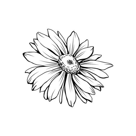 Daisy flower with bud freehand vector illustration. German chamomile, Matricaria chamomilla monochrome outline. Honey plant, wild flower engraving. Homeopathic herb, wildflower with name drawing Иллюстрация