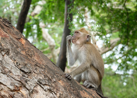Monkey sitting on a tree, lives in a natural forest of Thailand.