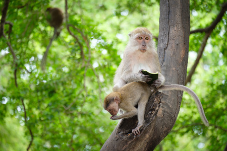 Monkey sitting on a tree, lives in a natural forest of Thailand, With space to write.