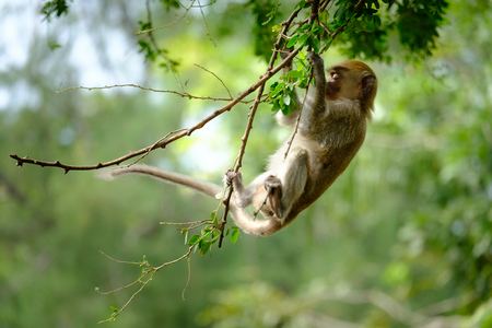 Monkeys hanging on a tree, lives in a natural forest of Thailand, With space to write. Stock Photo