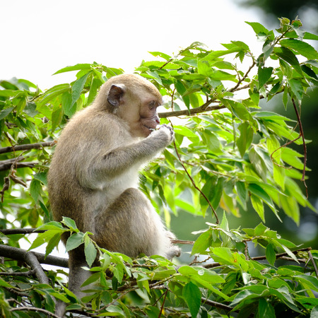 hung: Monkey sitting on a tree, lives in a natural forest of Thailand.