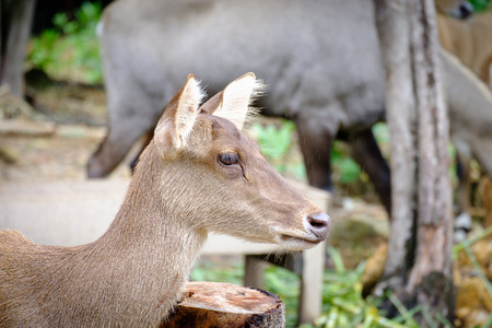 prairie: close up head of deer in open zoo, Thailand, Morning sun. Stock Photo