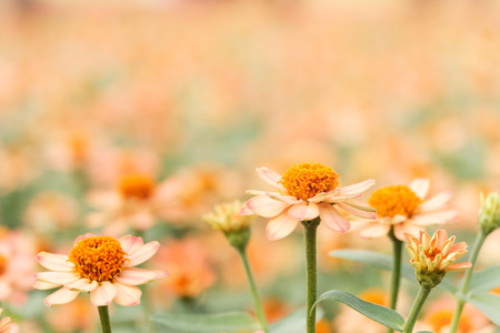 Orange flowers in the garden and a blurred background, AF point selection, Space for write. Stock Photo
