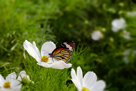 Butterfly sucking nectar from white cosmos flowers, Select a focus and blurred background With space for writing.