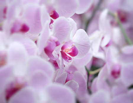 cattleya: Beautiful orchid flower with natural background, Select the focus and blur. Stock Photo
