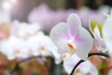 cattleya: Beautiful orchid flower with natural background, Select the focus and blur, Make Lens Flare.