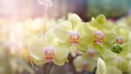 cattleya: Beautiful orchid flower in Morning sun with natural background, Select the focus and blur, Make Lens Flare.