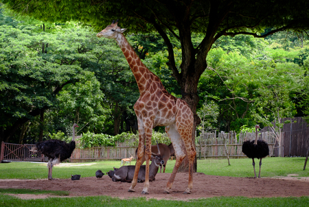 long nose: Giraffe, antelope and ostrich standing in the green garden.
