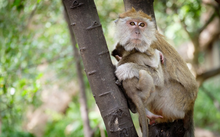 ubud: Monkey sitting on a tree happily in the tropical jungle of Thailand. Stock Photo