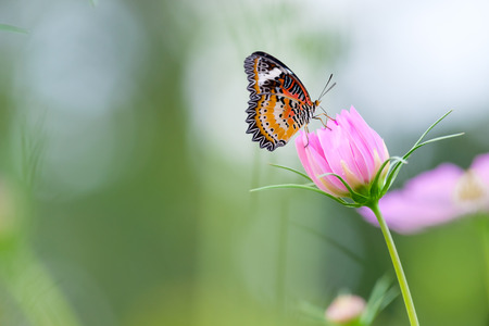 Monarch butterfly seeking nectar on a cosmos flower with copy space, beautiful picture. Banque d'images