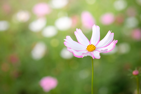 Field of blooming pink and white cosmos flower in the garden field of blooming pink and white cosmos flower in the garden thailand stock photo mightylinksfo