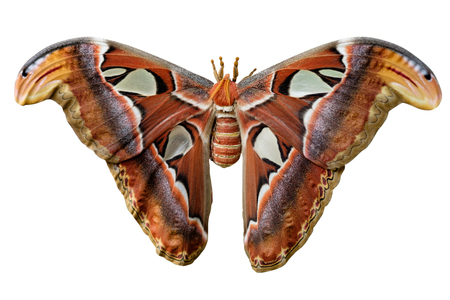 Attacus Atlas moths are one of the largest lepidopterans in the world. 写真素材