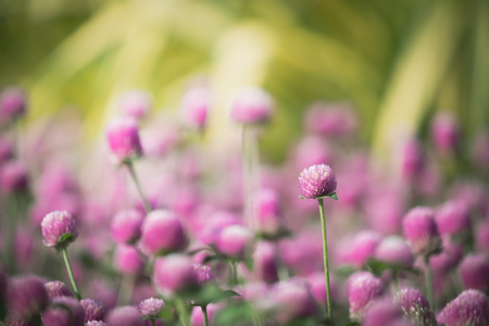 flower head of globe amaranth in the garden.