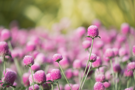 Flower head of globe amaranth in the garden. Stock Photo