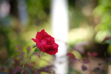 Beautiful red roses in spring in the garden. Stock Photo